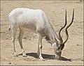 Addax-Jerusalem-Biblical-Zoo-IZE-481b.jpg
