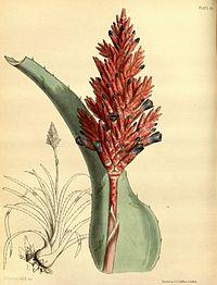 Aechmea distichantha Paxton 80.jpg