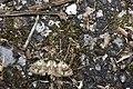 Aedia perdicipennis (26064305287).jpg