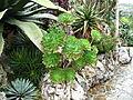 Aeonium arboreum (Monaco).jpg