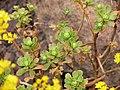Aeonium spathulatum P1050456.JPG