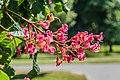 Aesculus × carnea in Christchurch Botanic Gardens 03.jpg
