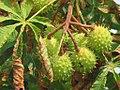 Aesculus hippocastanum - divlji kesten 4.jpg