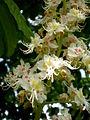 Aesculus hippocastanum 3c.JPG