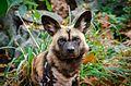 African Wild Dog (31027637745).jpg