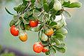 African boxthorn fruit.jpg