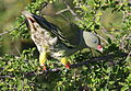 African green pigeon, Treron calvus, Kruger main road near Punda Maria turn-off, Kruger National Park, South Africa (26120096292).jpg
