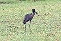 African openbill in Chobe National Park.jpg