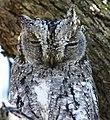 African scops-owl2 - Flickr - Ragnhild & Neil Crawford.jpg