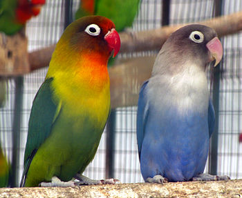 English: Domesticated lovebirds in an aviary.
