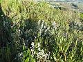 Agathosma crenulata 9790.jpg