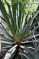 Agave fourcroydes in Jardin des Plantes de Toulouse.jpg
