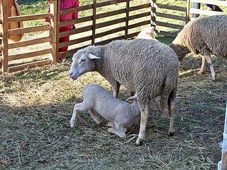 Authon, Alpes-de-Haute-Provence - A Sisteron lamb with its mother