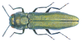 Agrilus sericans Kiesenwetter 1857.png