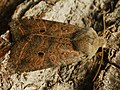 Agrochola lota - Red-line Quaker - Пухоногая совка ивовая (27235977218).jpg