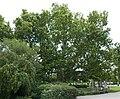 Ahornblättrige Platane Doblhoffpark 04.jpg