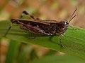 Aiolopus thalassinus JJA.jpg