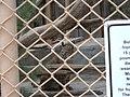Alameda Park Zoo bobcat.jpg