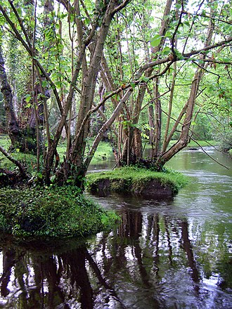 New Forest - Alder trees by the Beaulieu river at Fawley Ford, north of Beaulieu
