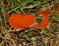 Aleuria aurantia (Orange Peel Fungus) - Flickr - S. Rae (1).jpg