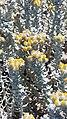 Algodonosa (Othantus maritimus).jpg