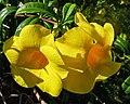 Allamanda cathartica - flowers.jpg