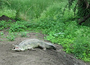 Alligator at Van Vihar National Park.jpg