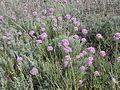 Allium globosum (habitat).jpg