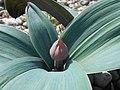 Allium karataviense 2017-05-06 9674.jpg