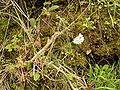 Allium roseum (Barlovento) 01.jpg