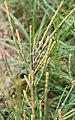 Allocasuarina portuensis shrub.jpg