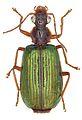 Allocota bicolor - ZooKeys-284-001-g003-17.jpeg
