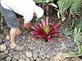 Aloe plicatilis (L.) Mill. (AM AK309110-2).jpg