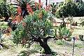 Aloe plicatilis Orto botanico Palermo 0015.JPG