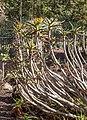 Aloe ramosissima - Jardín Botánico Canario Viera y Clavijo - Gran Canaria.jpg