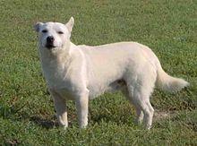 Malchi Dog Breed