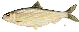 Blueback herring - Image: Alosa aestivalis