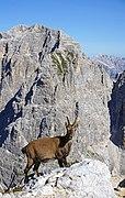 Alpine ibex Cima di Terrarossa 6.jpg