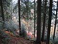 Alsatian mountain forest in autumn.jpg
