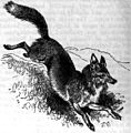 AmCyc Fox - American Red Fox.jpg