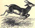 AmCyc Springbok.jpg