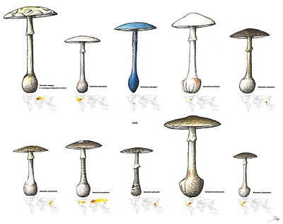 Amanita citrina group.jpg