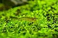 Amano Shrimp.jpg