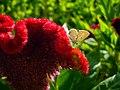 Amaranthus (1).jpg