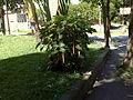 Amaranthus dubius 2012 000.jpg