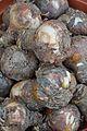 Amaryllis belladonna Bulbs - Kolkata 2013-11-10 4473.JPG