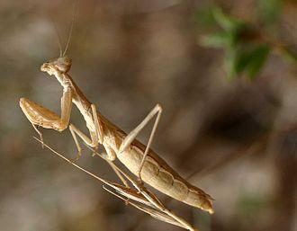 Mantidae - Image: Ameles decolor 01