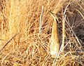 American Bittern Blending In On Lacreek NWR (12839405703).jpg