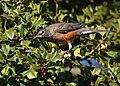 American Robin eating Holly berries (46331695682).jpg