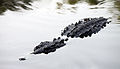 American crocodyle la manzanilla 12.jpg